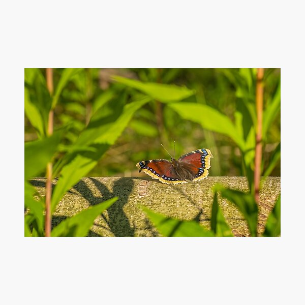 Butterfly in the forest: enchanting Mourning cloak Photographic Print