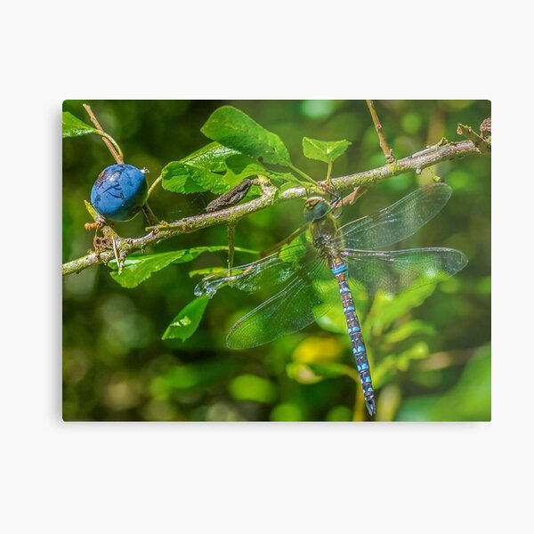 Dragonfly on blackthorn: The mighty hawker Metal Print