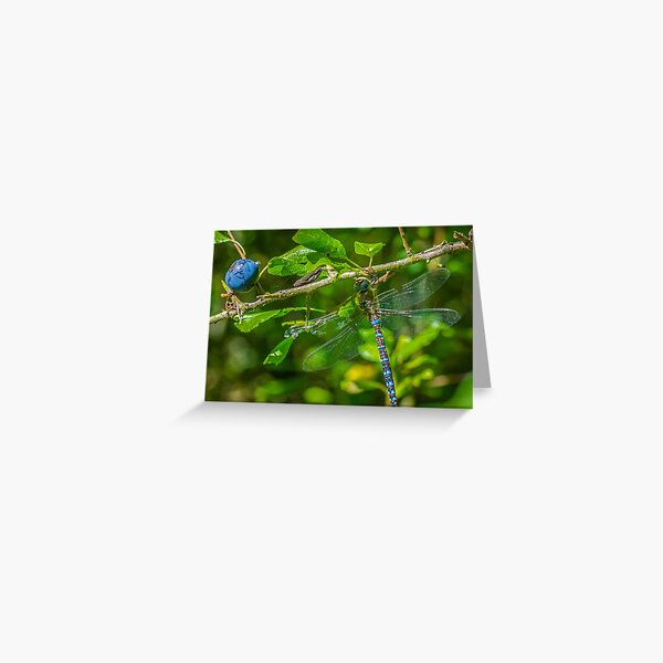 Dragonfly on blackthorn: The mighty hawker Greeting Card