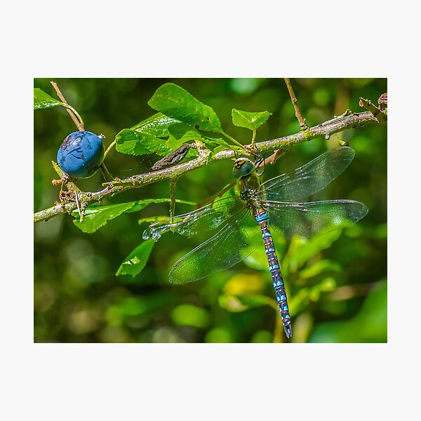 Dragonfly on blackthorn: The mighty hawker Photographic Print