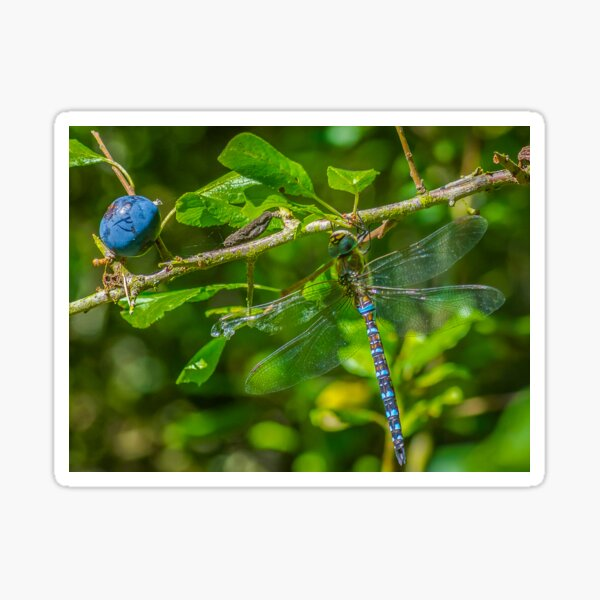 Dragonfly on blackthorn: The mighty hawker Sticker