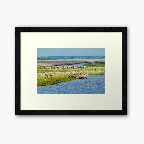 Wild horses roaming free in Oostvaardersplassen Framed Art Print