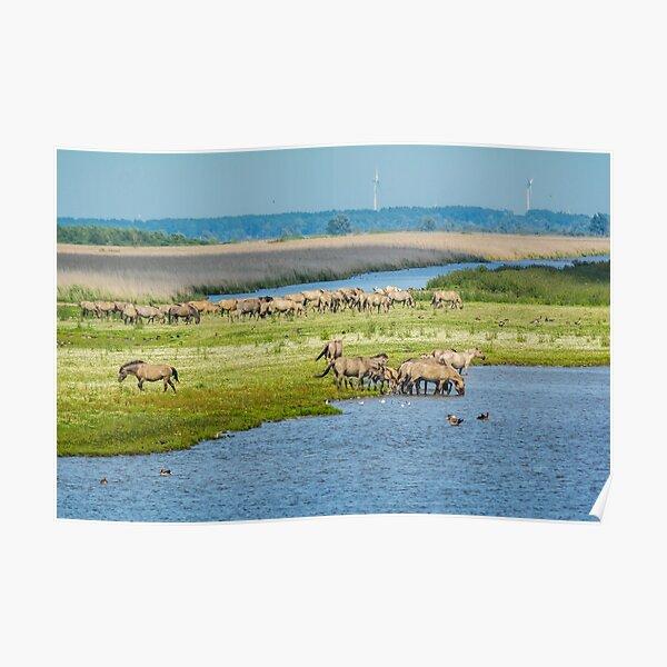 Wild horses roaming free in Oostvaardersplassen Poster