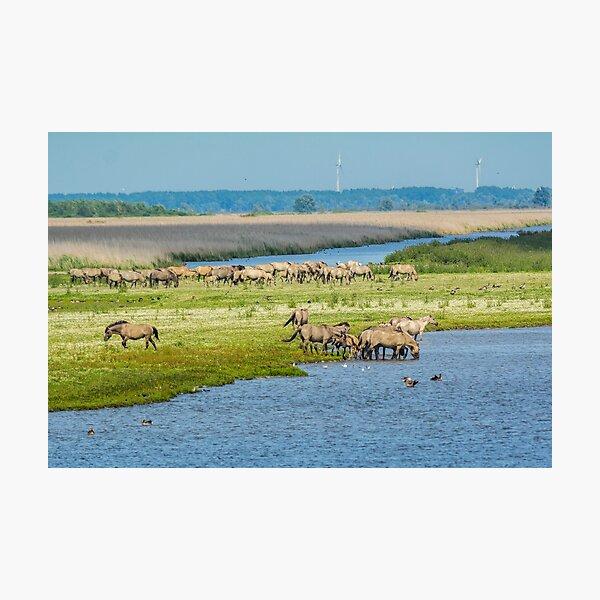 Wild horses roaming free in Oostvaardersplassen Photographic Print