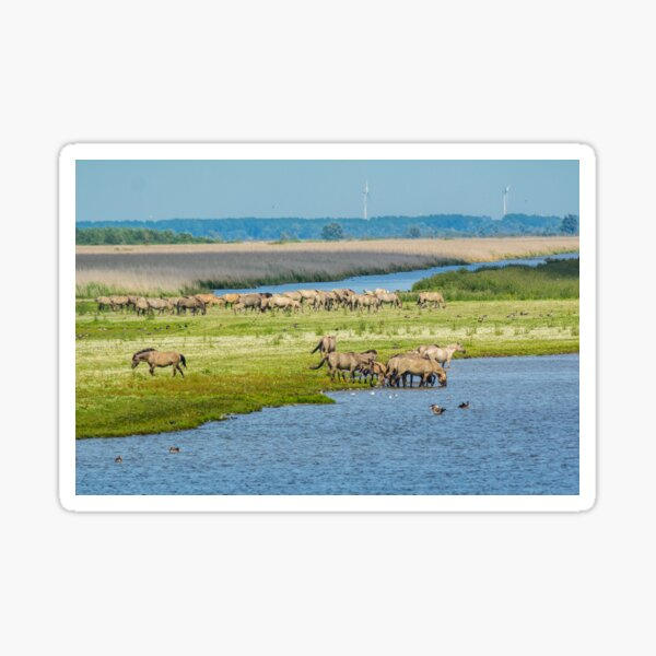 Wild horses roaming free in Oostvaardersplassen Sticker