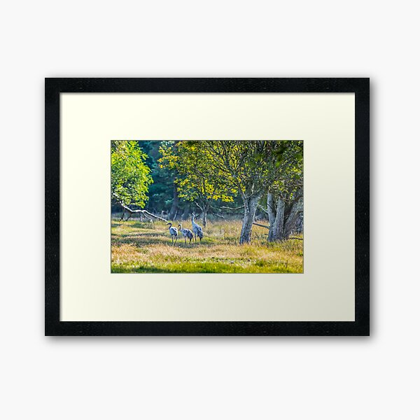 A family of cranes taking a morning stroll Framed Art Print