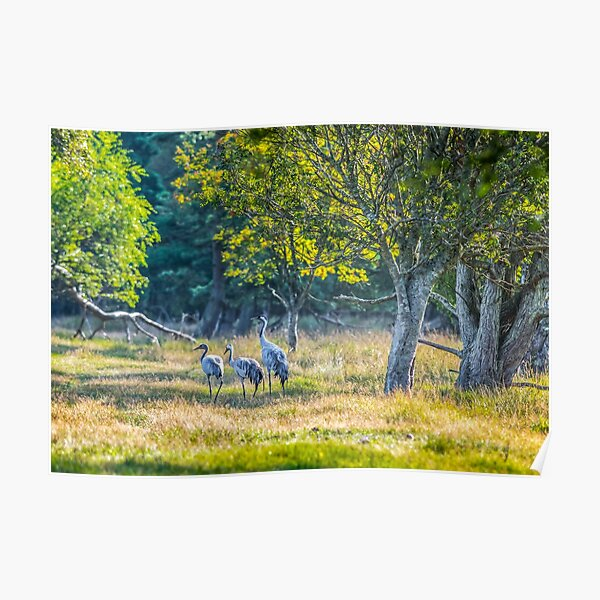 A family of cranes taking a morning stroll Poster