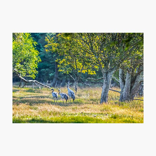 A family of cranes taking a morning stroll Photographic Print