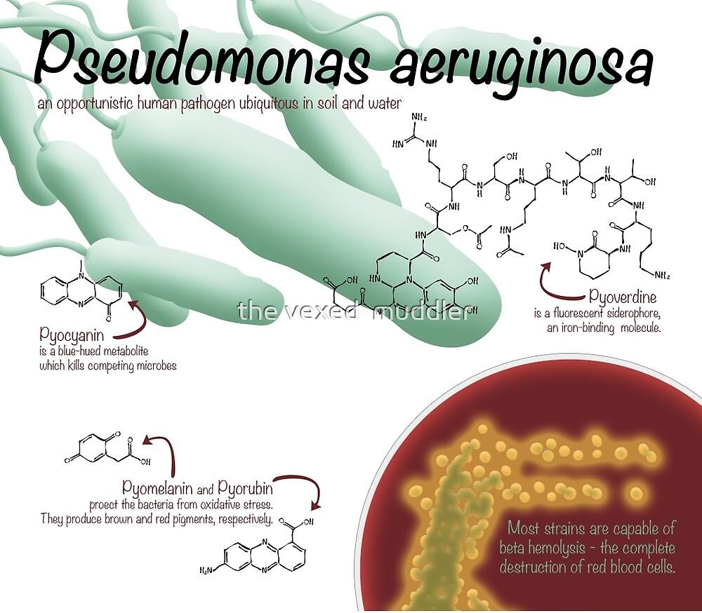 Pseudomonas aeruginosa by the vexed  muddler