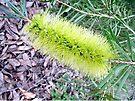 Callistemon Pachyphyllus by Margaret  Hyde
