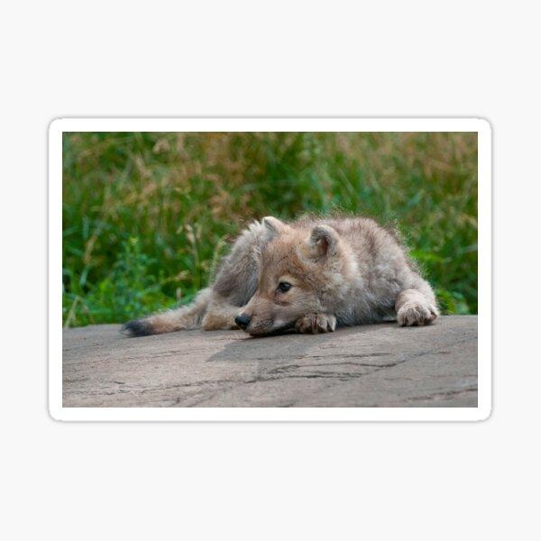 Arctic Wolf Pup Sticker
