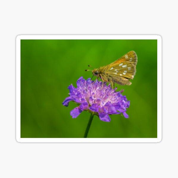 Silver-spotted skipper, a small butterfly on devil's-bit  Sticker