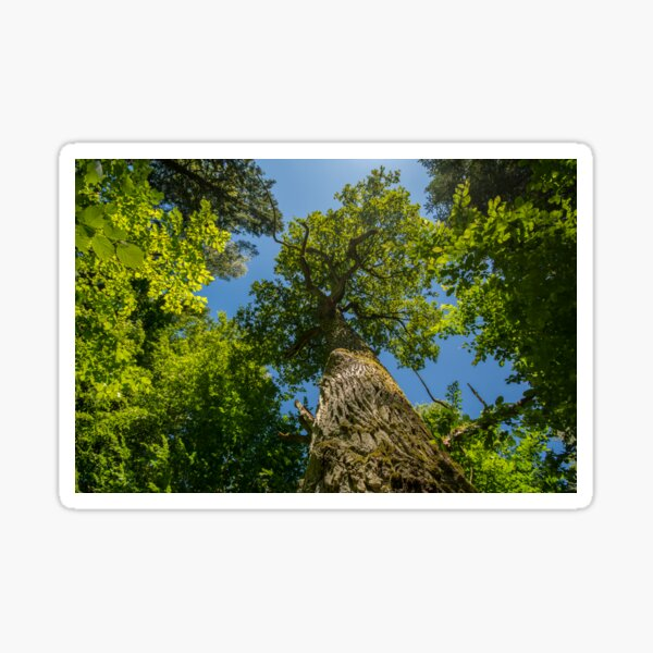 One of nature's majesties, the old oak Sticker