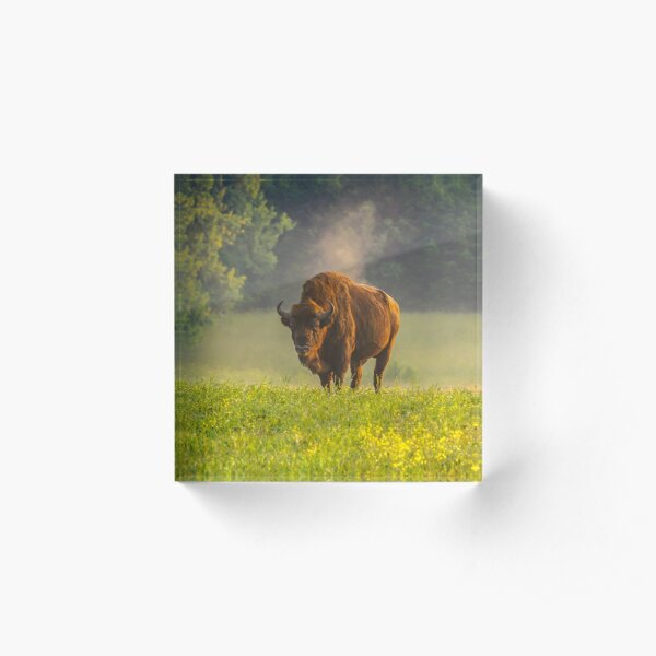 Wisent or european bison steaming in the morning light Acrylic Block