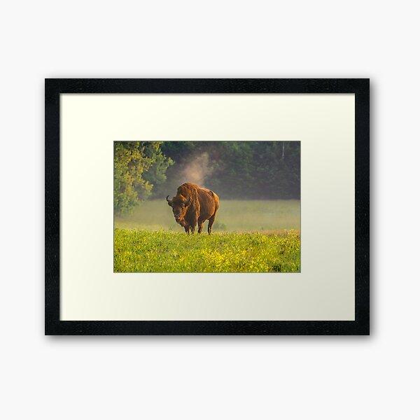 Wisent or european bison steaming in the morning light Framed Art Print