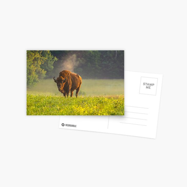 Wisent or european bison steaming in the morning light Postcard