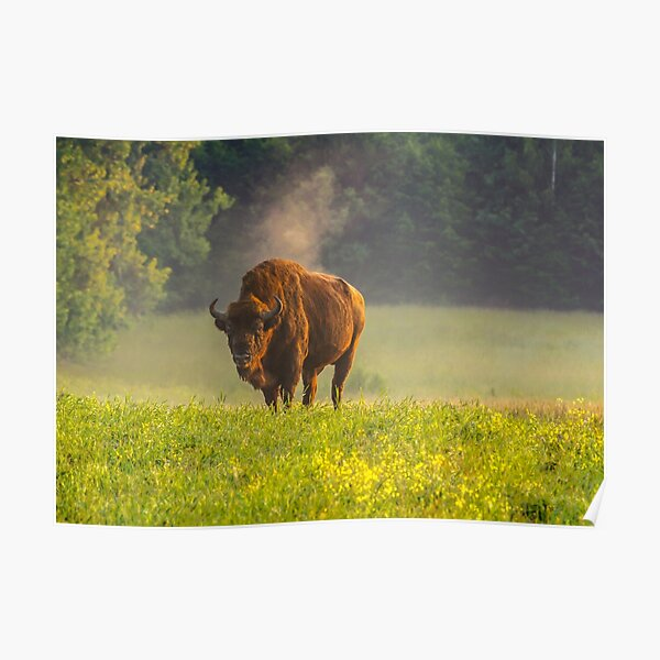 Wisent or european bison steaming in the morning light Poster