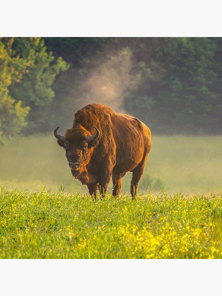Wisent or european bison steaming in the morning light by Poliphilo