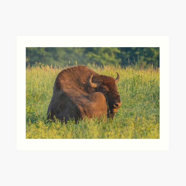 Laughing european bison, also known as wisent Art Print