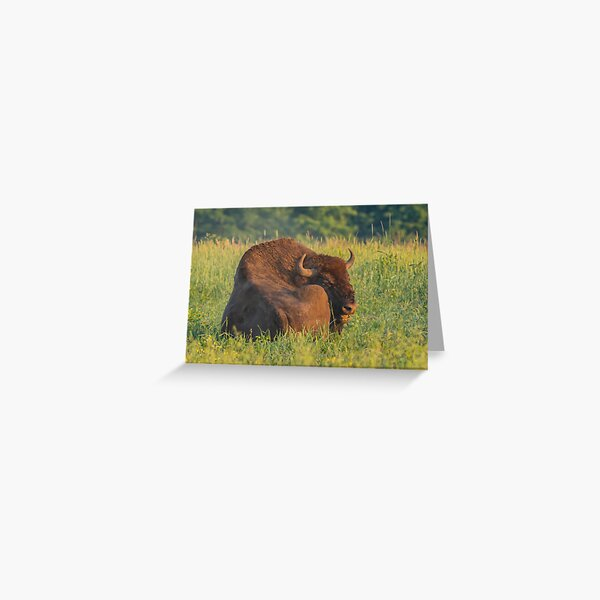 Laughing european bison, also known as wisent Greeting Card