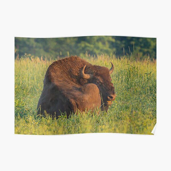 Laughing european bison, also known as wisent Poster