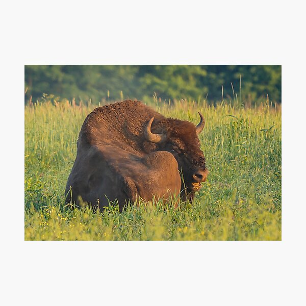 Laughing european bison, also known as wisent Photographic Print