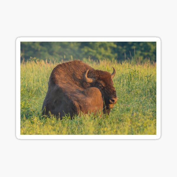 Laughing european bison, also known as wisent Sticker