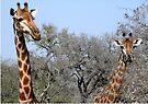 Inquisitive Giraffes - Giraffa Camelpardalis by Margaret  Hyde