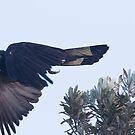 Big Bird Flight by byronbackyard