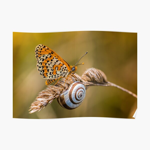 Butterfly (spotted fritillary) hanging out with a snail Poster