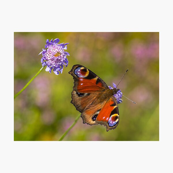 The European peacock has great fake eyes on the wings Photographic Print