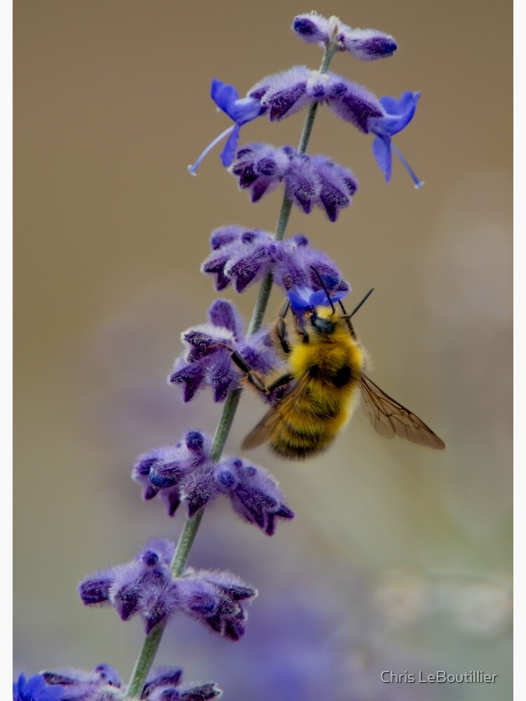 Honey Bee on Lavender by C-LeBoutillier