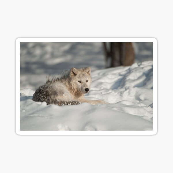 Arctic Wolf Sticker
