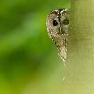 Peekaboo Owl by Penny Dixie