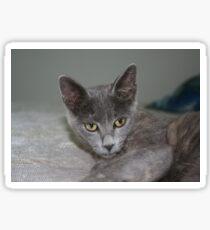 Beautiful Portrait of A Grey Russian Cross Tabby Cat Sticker