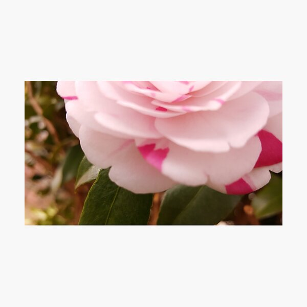 Camellia bloom Photographic Print