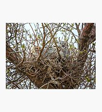 Nest of Great Horned Owls Photographic Print