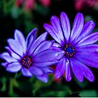 Double Purple Passion by Michael Moriarty