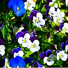 Violas Flowers by Michael Moriarty