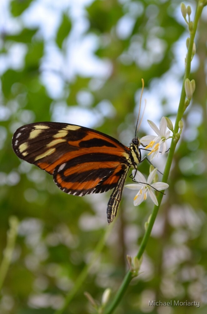 Butterfly on Twig with White Flowers by Michael Moriarty