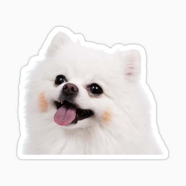 White Pomeranian Sticker