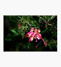 Pink and Lemon Grevillea Photographic Print
