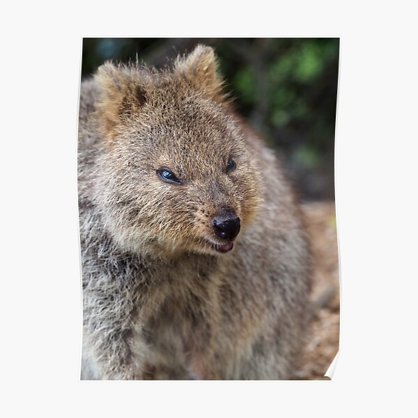 """Angry Quokka 4"""" Poster by johngill   Redbubble"""