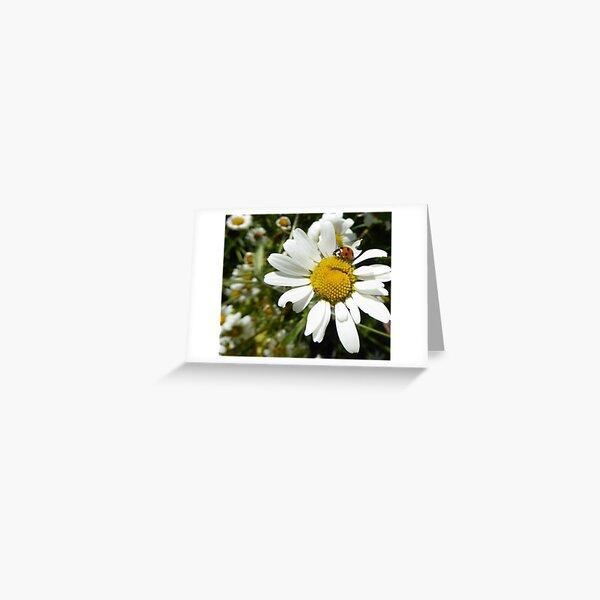 Ladybird on daisy Greeting Card