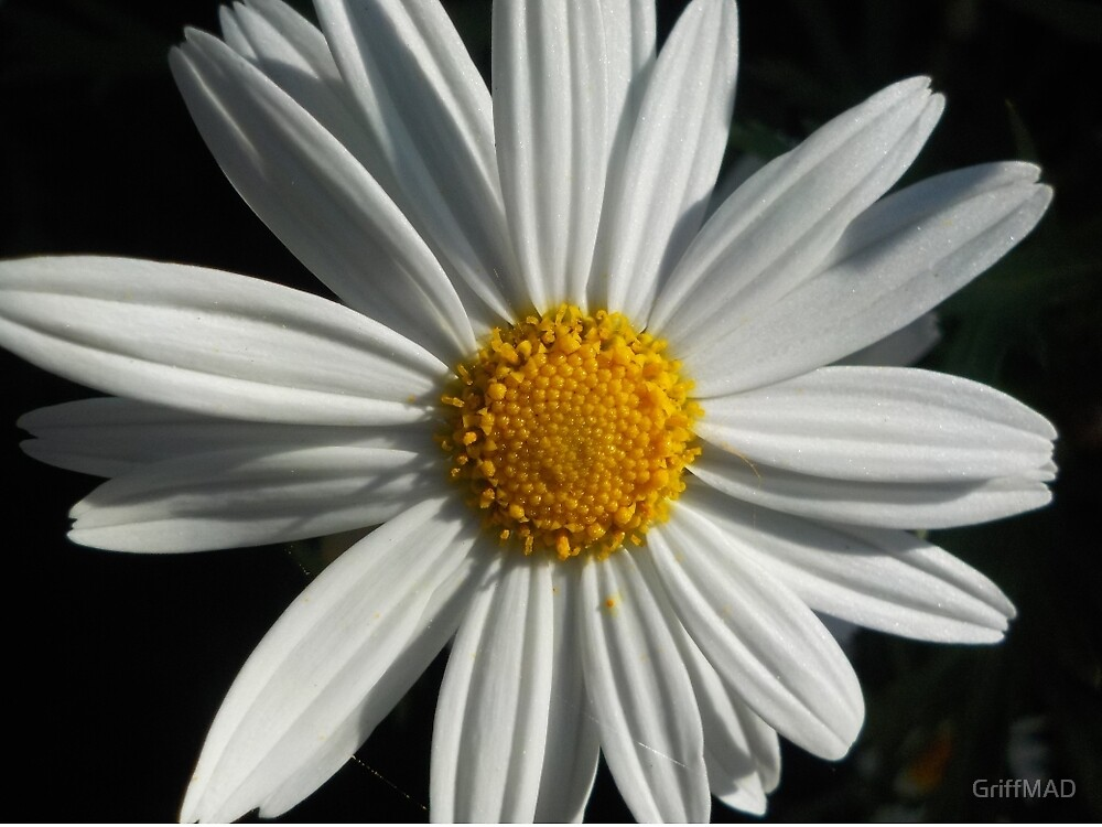 Another White Daisy by GriffMAD