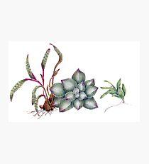 Succulents (coloured pencil) Photographic Print