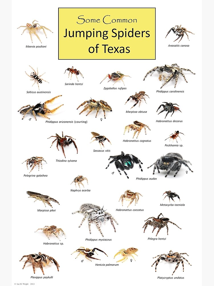 Common Jumping Spiders of Texas Poster by ianmwright86