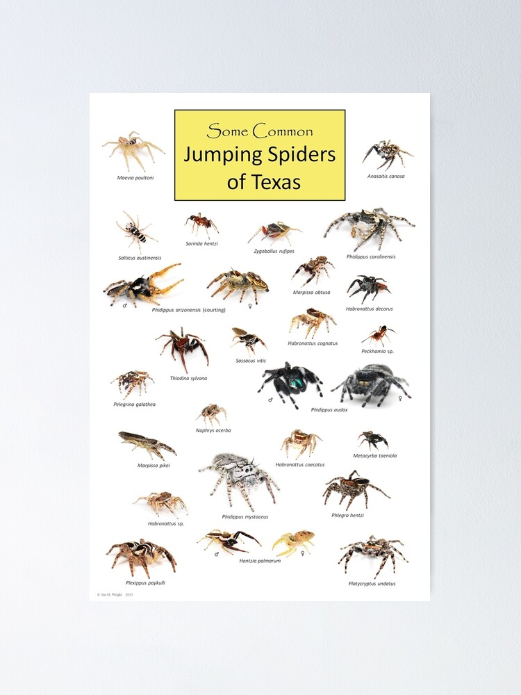 Alternate view of Common Jumping Spiders of Texas Poster Poster
