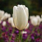 A white tulip. by naranzaria
