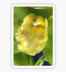Green Cymbidium with a yellow Orchid Tongue Sticker